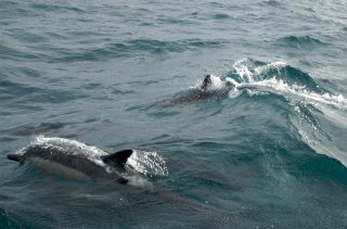 Dolphins close to the boat