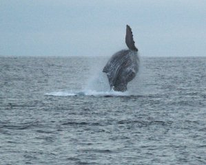 Whales Breeching in Cabo San Lucas on Christmas Day while Whale Watching with Captain Bob